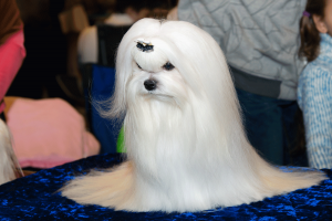 westminster-dog-show-nuvet-reviews