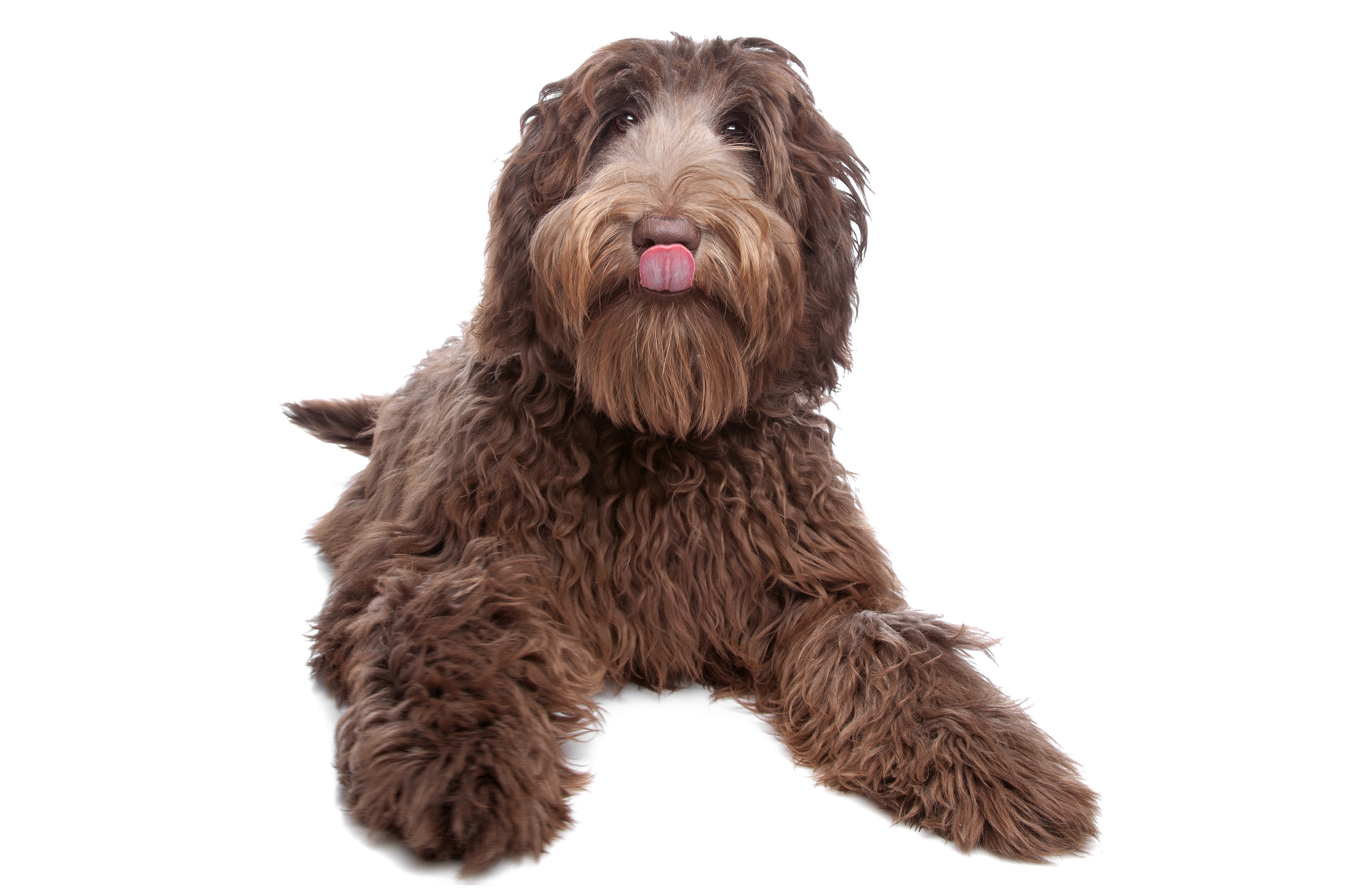 8 Great Things About Owning A Labradoodle Nuvet Labs Blog