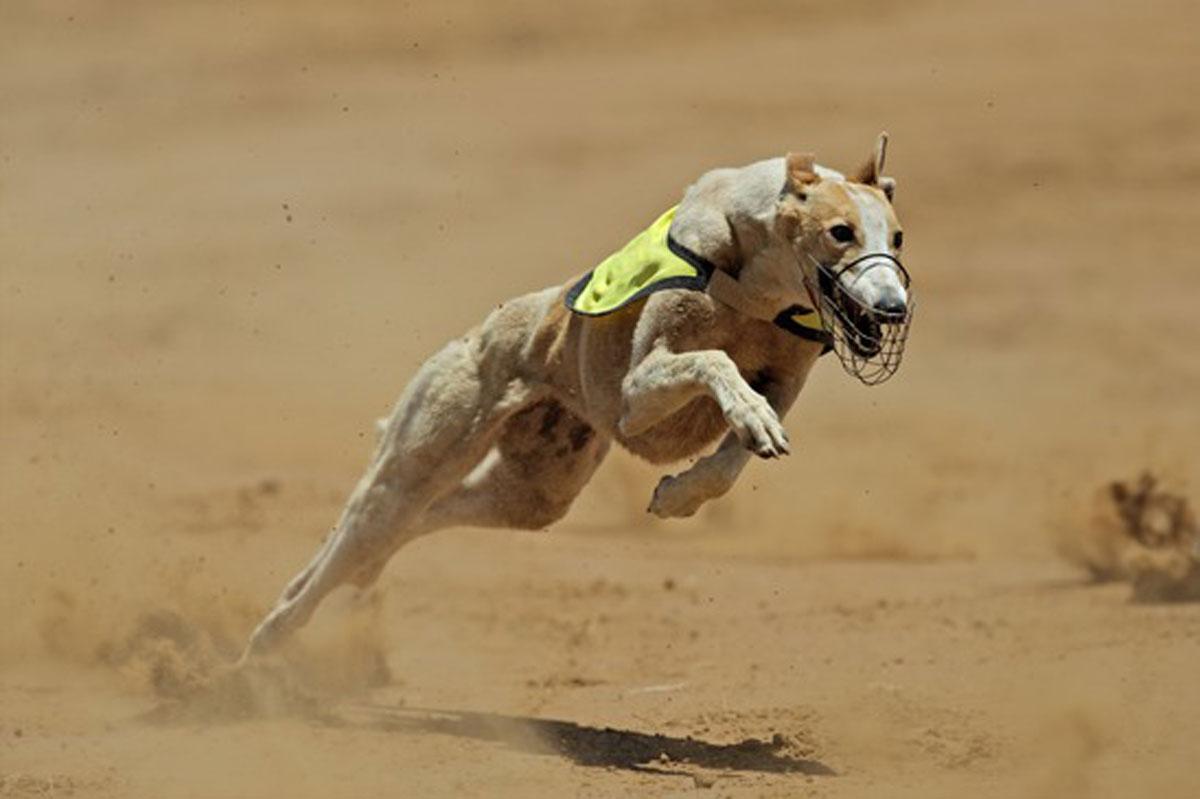 National Adopt A Greyhound Month Nuvet Labs Blog