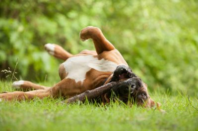 Dogs-Roll-in-Smelly-Stuff