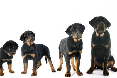 dog's adult size